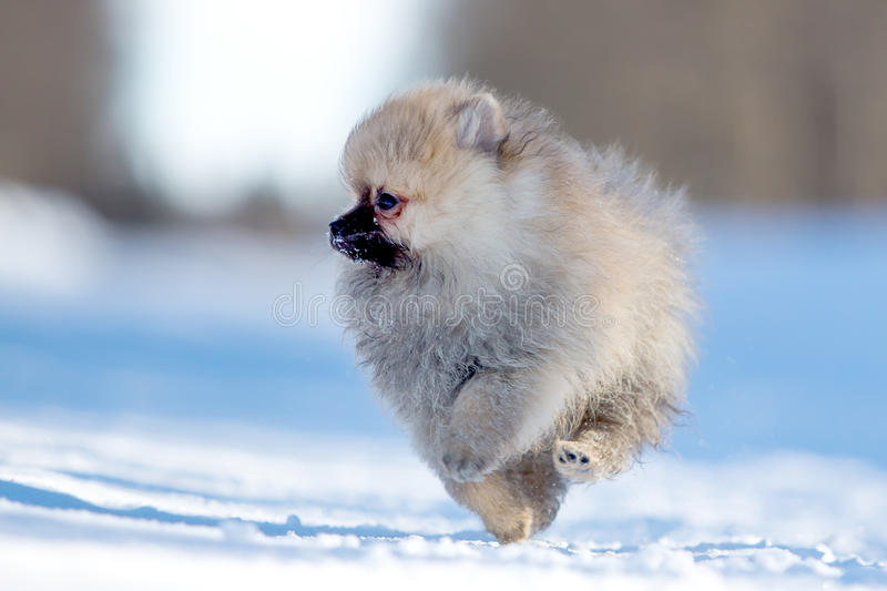 Download Spitz puppy stock image. Image of pomeranian, nature - 30169473