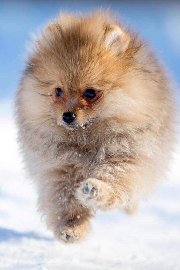 Download Spitz puppy stock image. Image of nature, snow, pomeranian - 30169713