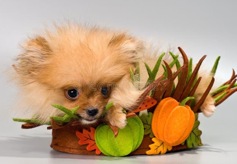 Pomeranian spitz stock photography