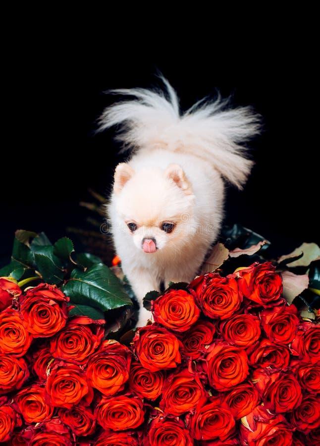 pomeranian spitz Trendig vovve på rosor En gåva för en glamorös flicka gullig valpwhite husdjur F?rf?lja glamour dv?rg arkivbild