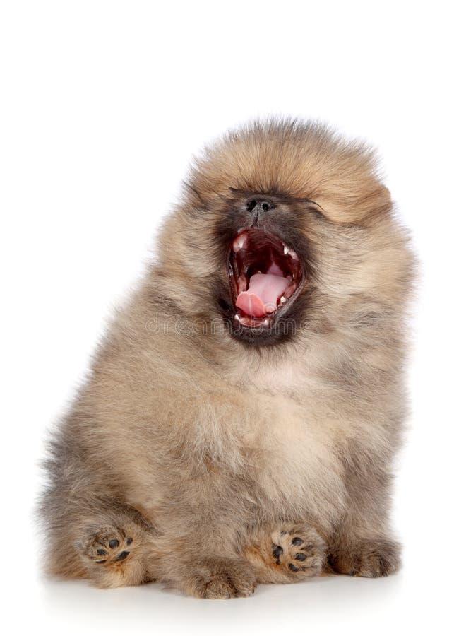 Pomeranian Spitz-Welpengegähne stockfotos