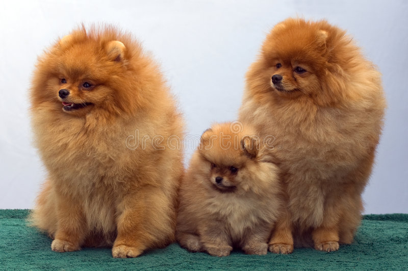 Pomeranian Spitzfamilie stockfotos