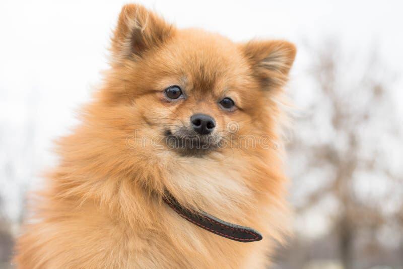 Pomeranian-Spitznahaufnahme auf der Straße lizenzfreie stockfotos