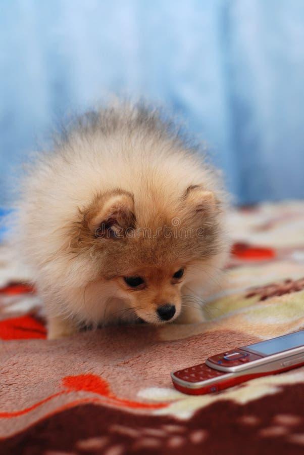 Pomeranian Spitzwelpe und -Handy lizenzfreies stockbild