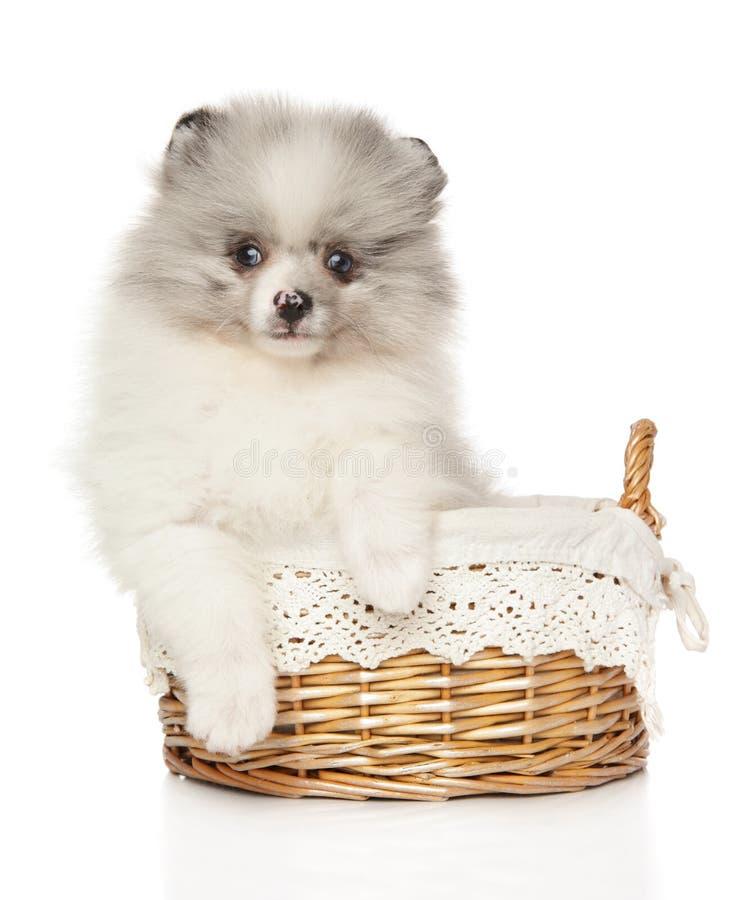 Pomeranian-Spitzwelpen-Marmorfarbe im baster lizenzfreie stockbilder
