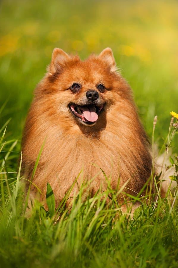 pomeranian stående för hund arkivfoton