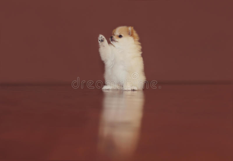 Pomeranian valp royaltyfria foton