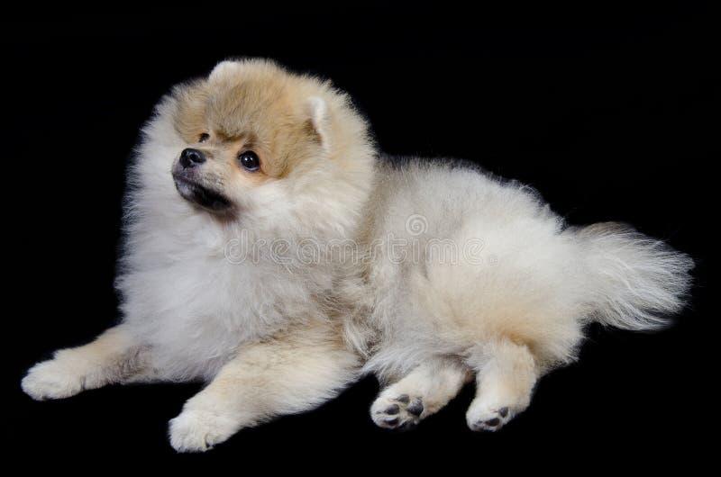 Pomeranian valp royaltyfria bilder