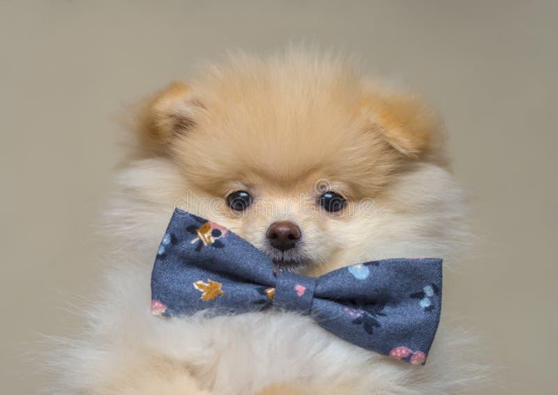 Pomeranian valp med flugan royaltyfri fotografi
