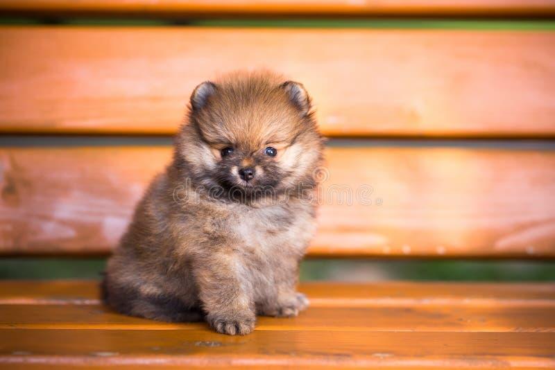 Pomeranian valp på en bänk royaltyfri bild