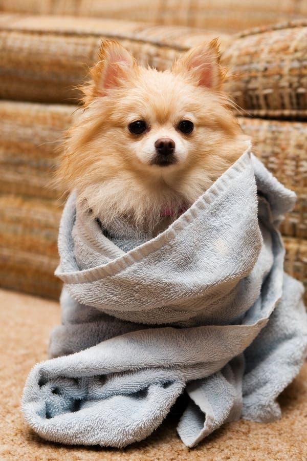 Pomeranian-Verpackung stockfotografie
