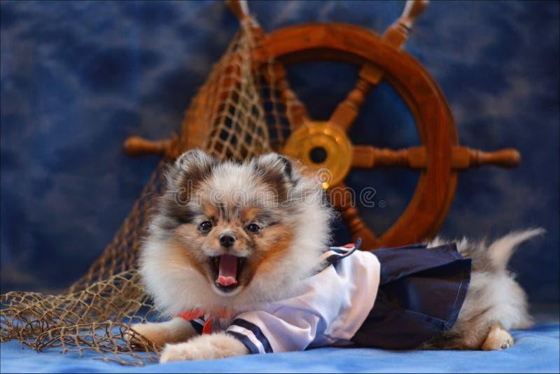 Pomeranian Welpe lizenzfreies stockfoto