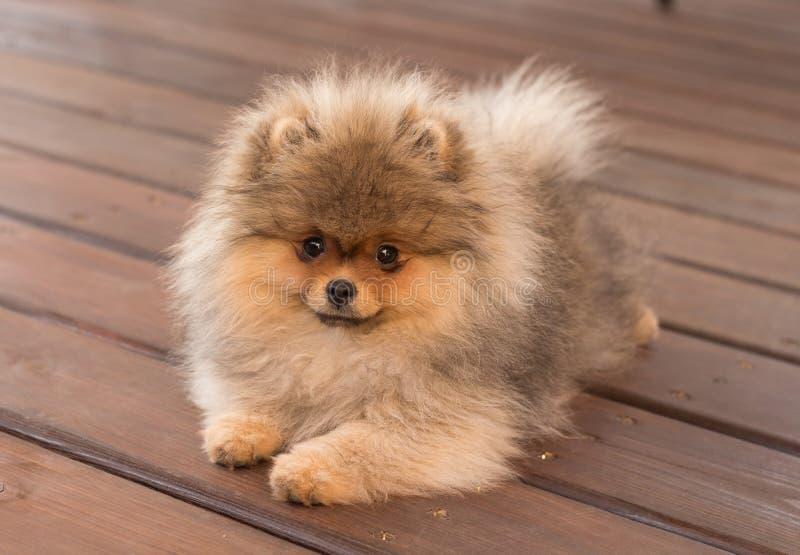Pomeranian-Welpe im Schatten an einem Sommertag lizenzfreies stockbild