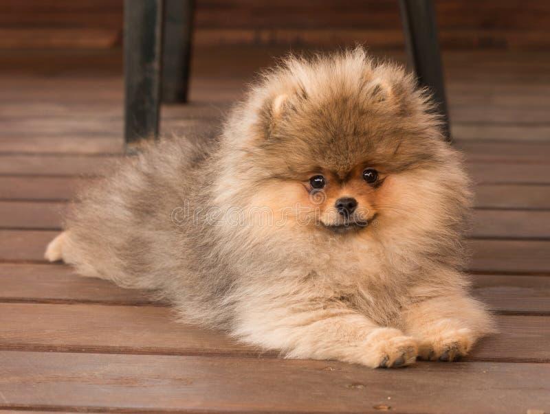 Pomeranian-Welpe im Schatten an einem Sommertag stockbild