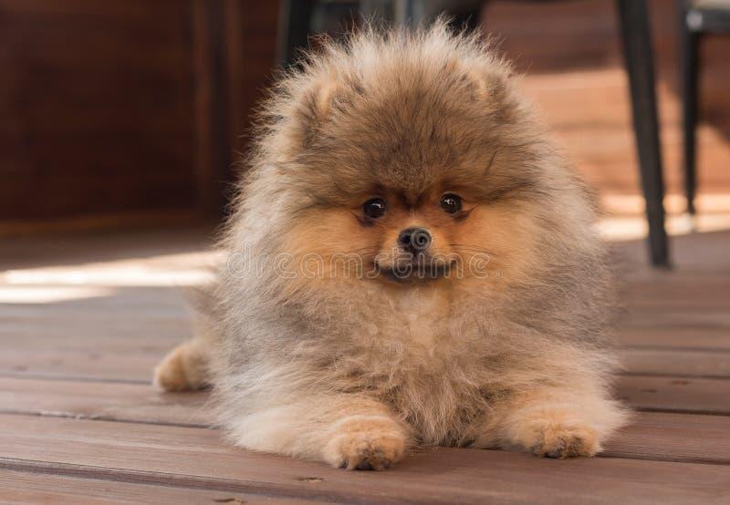Pomeranian-Welpe im Schatten an einem Sommertag lizenzfreie stockfotografie