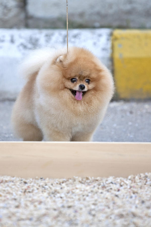 Pomeranianhond stock afbeelding
