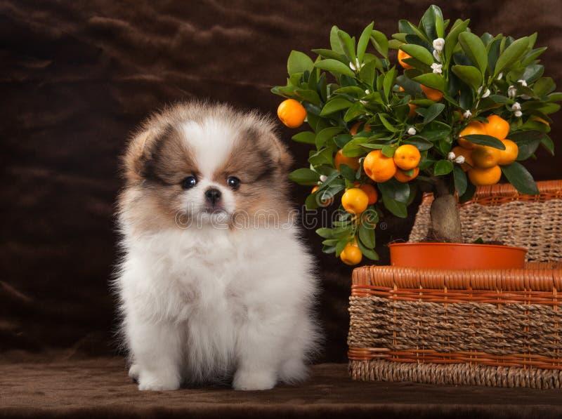 Pomeranianhond met mandarijn en mand stock afbeelding