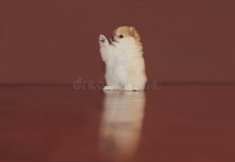 Pomeranianpuppy royalty-vrije stock foto's