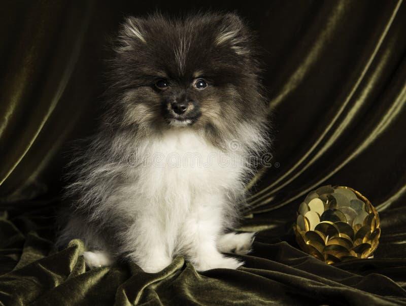 Pomeranianspitz hondpuppy met Nieuwjaarbal op Kerstmis of Nieuwjaar stock foto