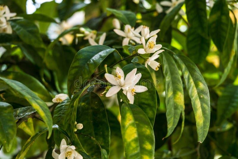 Pomeranzenbaumpomeranzenbaumblumen und -früchte lizenzfreie stockbilder