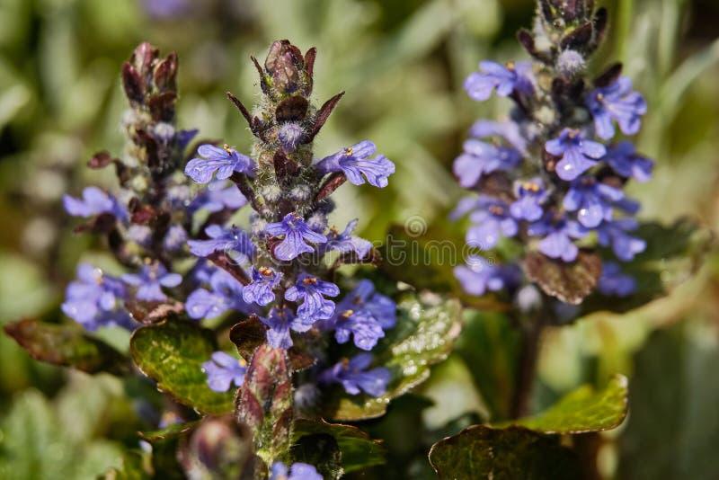 Pomeriggio blu del primo piano del wildflower nel campo immagini stock libere da diritti