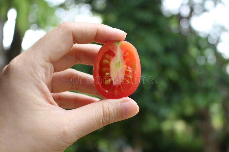 Pomidor zdjęcie stock
