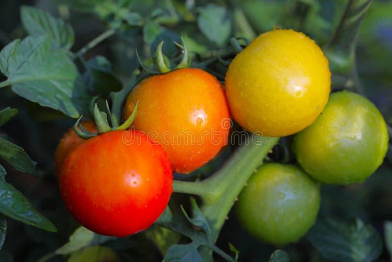 Pomidor na winogradzie zdjęcie royalty free