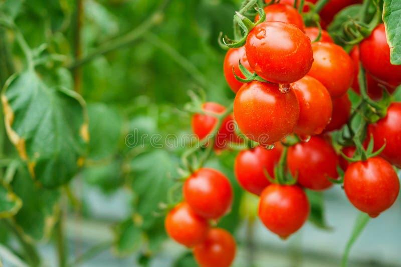 Pomidor rośliny przyrost w organicznie szklarnia ogródzie gotowym zbierać obraz stock