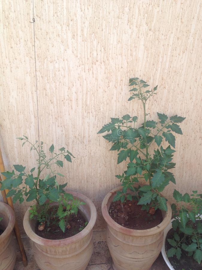 pomidor rozgałęzia się na tarasie obraz royalty free