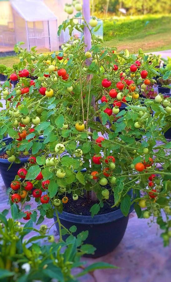 Pomidor w garnku Udziały pomidory obrazy stock