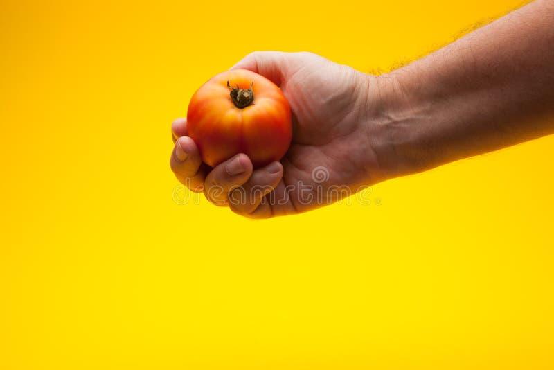 Pomidor w ręce na prostym tle zdjęcie stock
