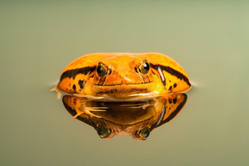 Pomidorowa żaba Dyscophus z odbiciem w wodzie fotografia stock