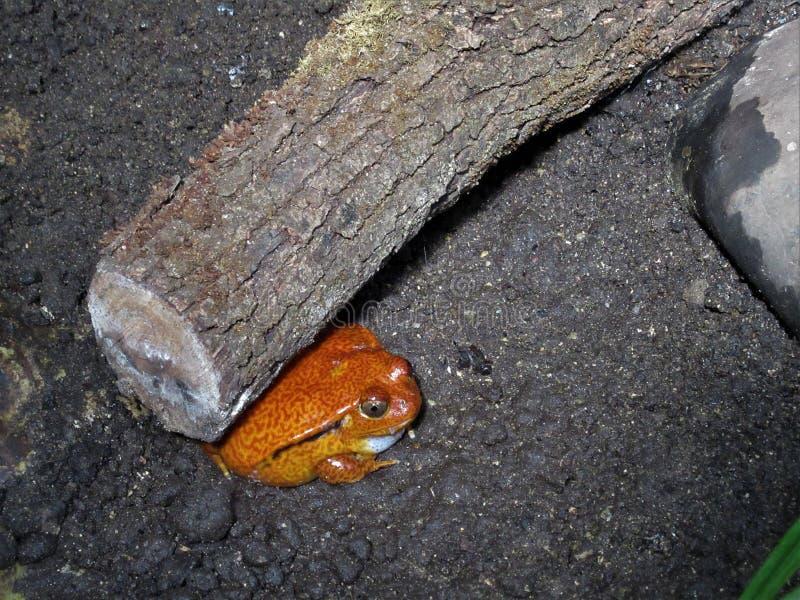 Pomidorowa żaba odpoczywa pod belą fotografia stock