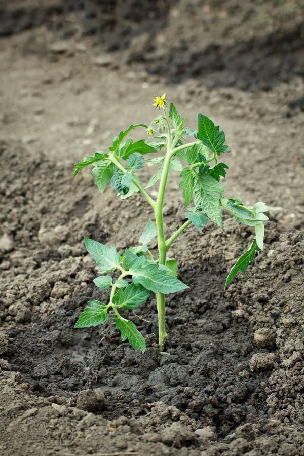 pomidorowa plantacja zasadzająca w organicznie ziemi zdjęcie royalty free