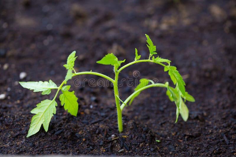 Pomidorowa roślina Makro- obraz stock