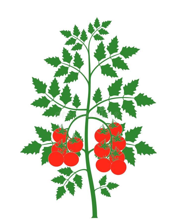 Pomidorowa roślina Odosobniony pomidor na białym tle royalty ilustracja