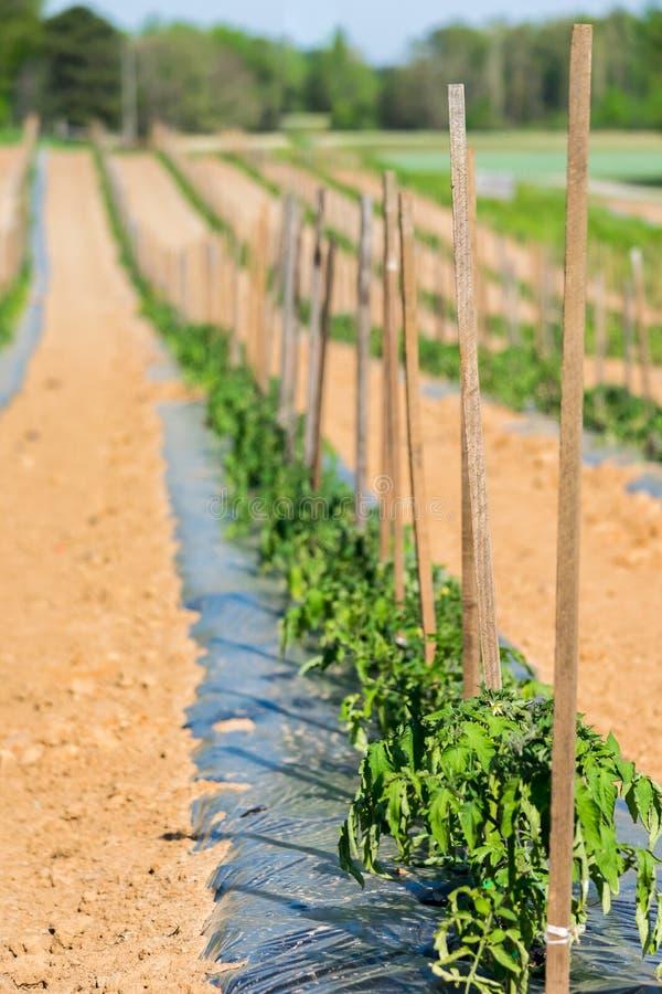 Pomidorowe rośliny w długim rzędzie fotografia royalty free