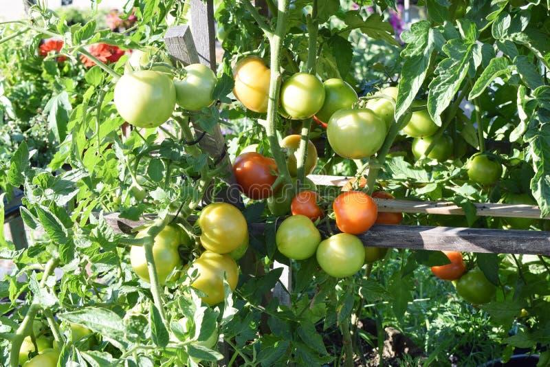 Pomidorowe rośliny w ogródzie produkują zdjęcie stock