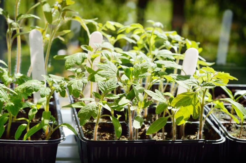 Download Pomidorowe Rozsad Zielone Flance Obraz Stock - Obraz złożonej z rozsada, organicznie: 53787993