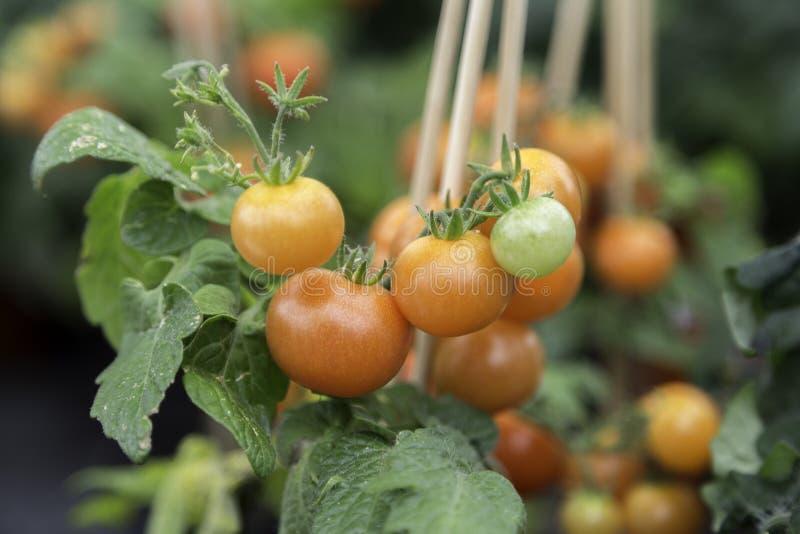 Pomidorowej rośliny zakończenie Up zdjęcie royalty free