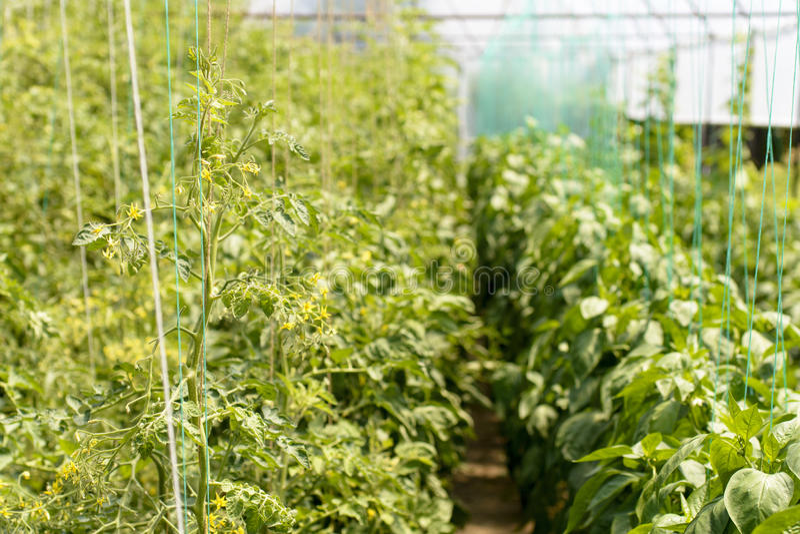 Pomidorowy kwiat zdjęcia royalty free