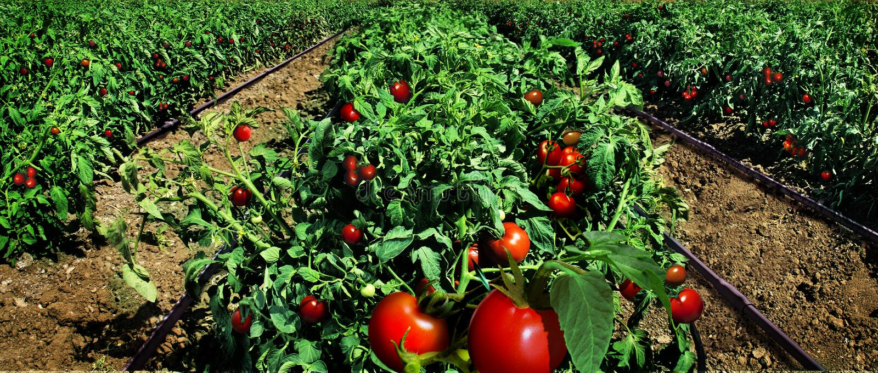 Pomidoru śródpolny przygotowywający dla żniwa zdjęcia stock