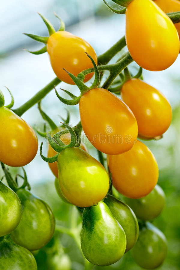 pomidoru organicznie podwodny kolor żółty zdjęcie stock