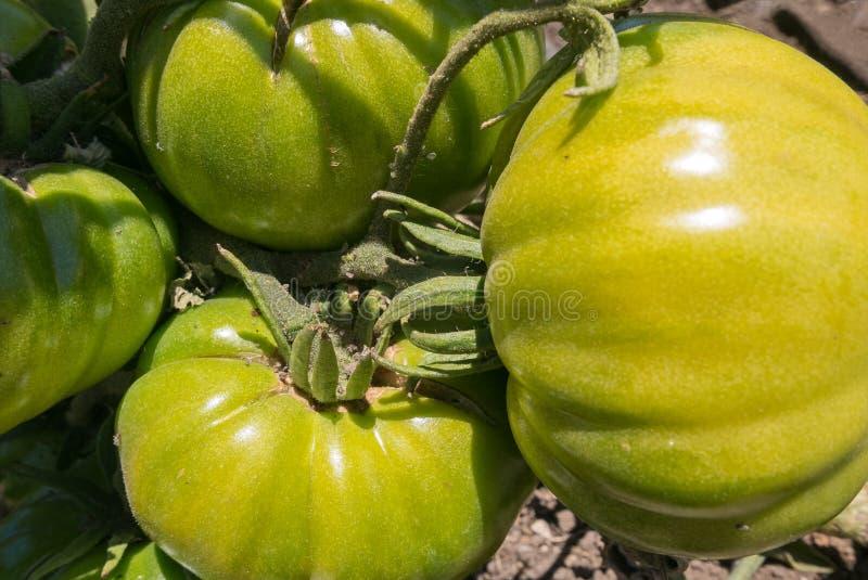 Pomidory na winogradzie obraz royalty free