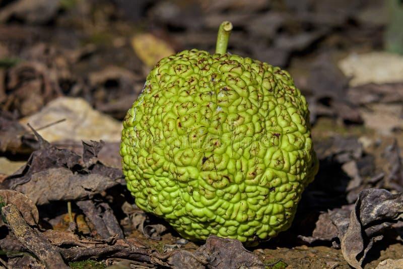 Pomifera del Maclura conocido como fruta de la naranja de Osage imagen de archivo