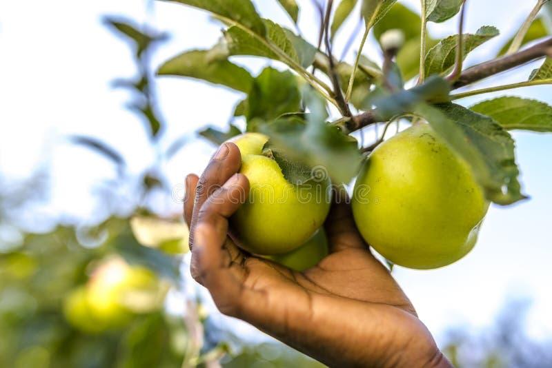 Pomme africaine de cueillette d'enfant photo libre de droits