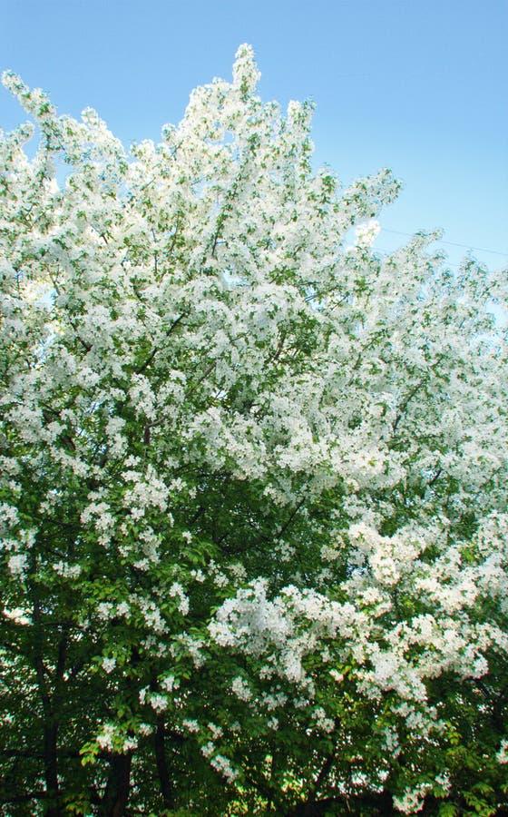 Pomme-arbre de floraison au printemps photo libre de droits
