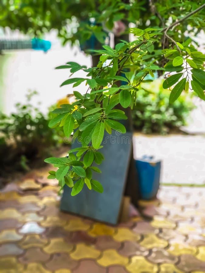 Pomme cannelle ou pomme cannelle, branche d'arbre de corossol et feuilles photographie stock