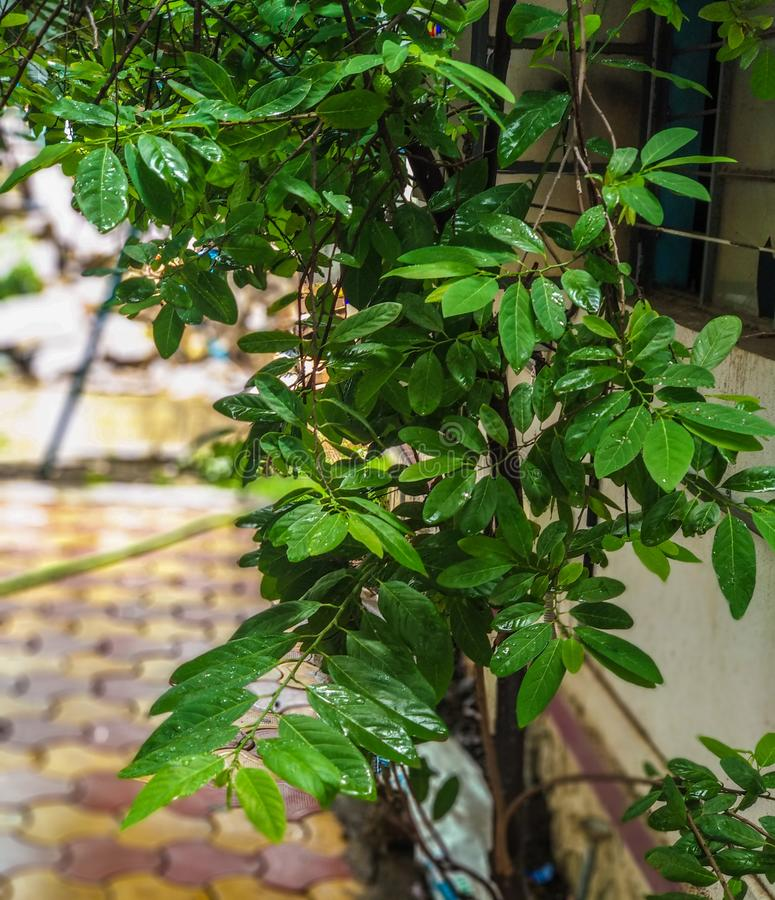 Pomme cannelle ou pomme cannelle, branche d'arbre de corossol et feuilles photos stock