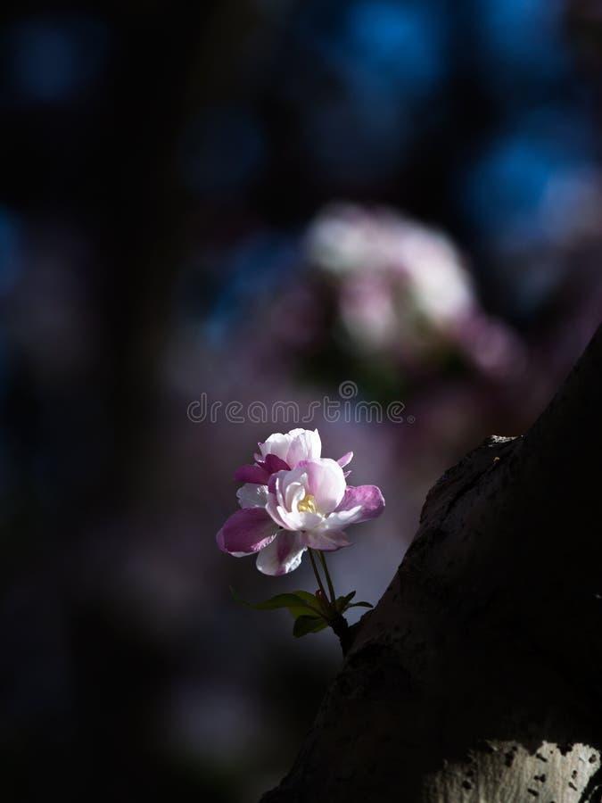 Pomme chinoise fleurissant, d'isolement photo libre de droits